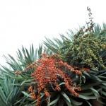 Drachenbaum Dracaena draco