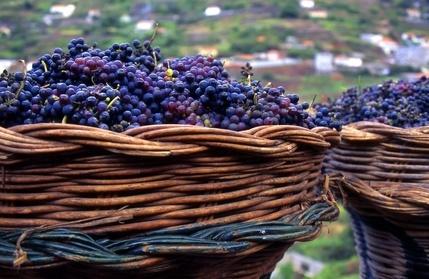 Weinanbau auf Madeira